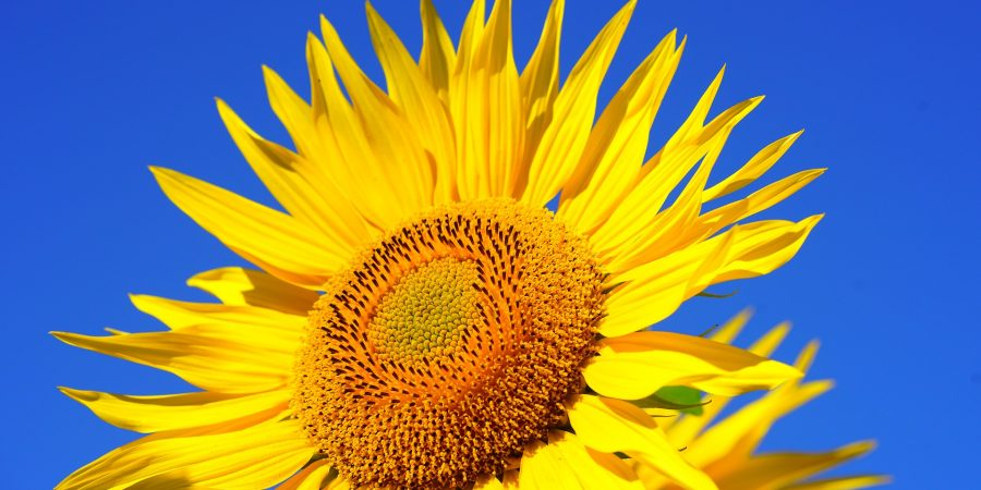sun-flower-2511961_1920
